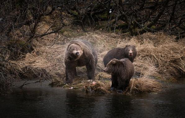 Картинка осень, трава, взгляд, деревья, ветки, поза, река, берег, медведь, купание, три, медвежонок, медвежата, трио, два, …