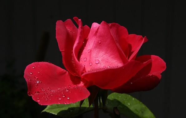 Картинка цветок, капли, капельки, роса, сияние, фон, роза, лепестки, бутон, красная, алая