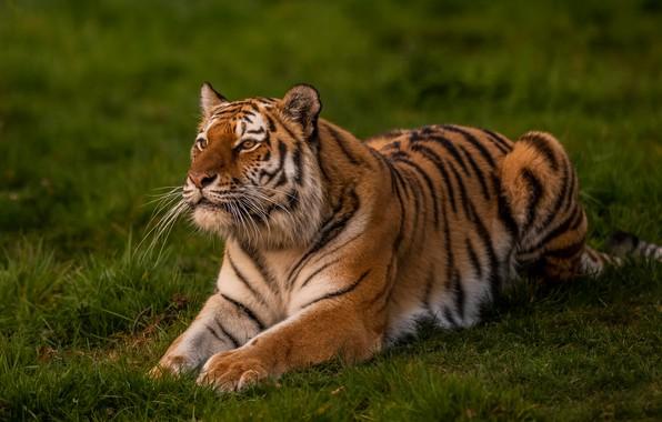 Картинка зелень, трава, взгляд, природа, тигр, поза, лежит, дикая кошка