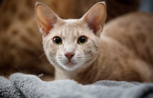 Картинка кошка, взгляд, портрет, мордочка, Оцикет