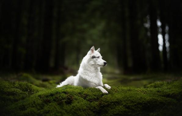 Картинка лес, мох, собака, белая, Хаски