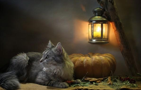 Картинка кошка, кот, взгляд, листья, свет, животное, свеча, фонарь, тыква, профиль, мешковина, Ковалёва Светлана, Светлана Ковалёва