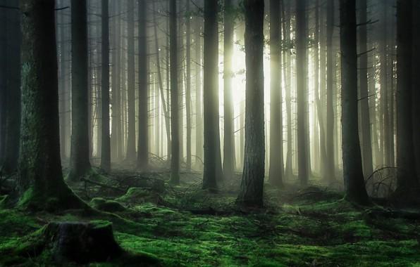 Картинка лес, свет, деревья, мох, light, forest, trees, moss, Guy Krier