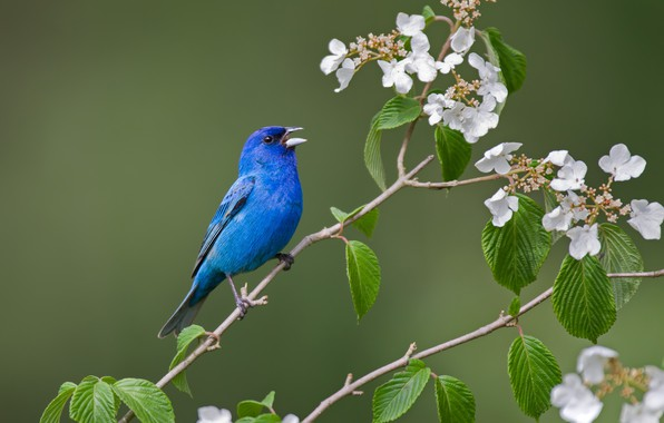 Картинка листья, ветки, фон, птица, цветение, цветки, Индиговый овсянковый кардинал, гортензтя