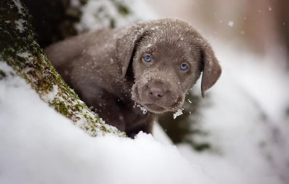 Картинка зима, взгляд, снег, портрет, собака, малыш, щенок, мордашка, коричневый, шоколадный, ретривер, карапуз, припорошило
