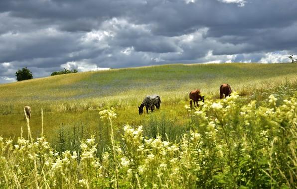 Картинка поле, лето, небо, трава, пейзаж, цветы, тучи, природа, кони, лошади, пастбище, холм, луг, простор, накидка, …