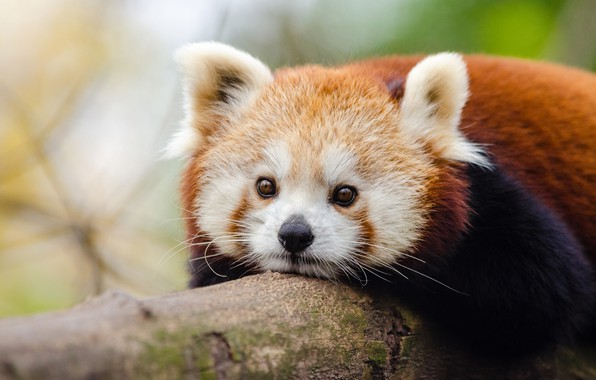 Картинка взгляд, бревно, мордашка, боке, Красная панда, Малая панда