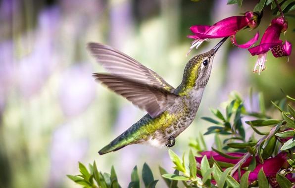 Картинка цветок, полет, колибри, крілья