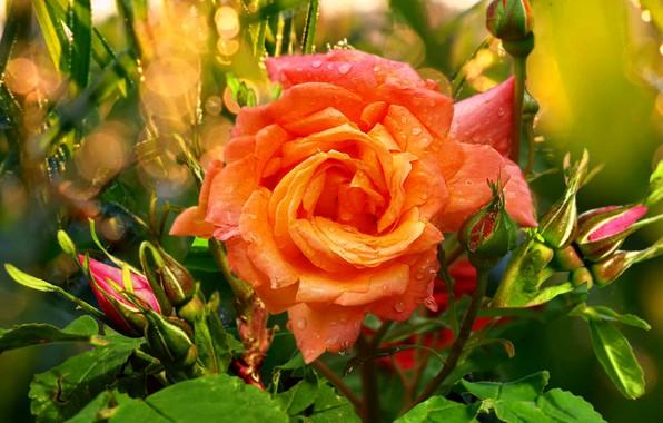 Картинка лето, капли, роса, Роза