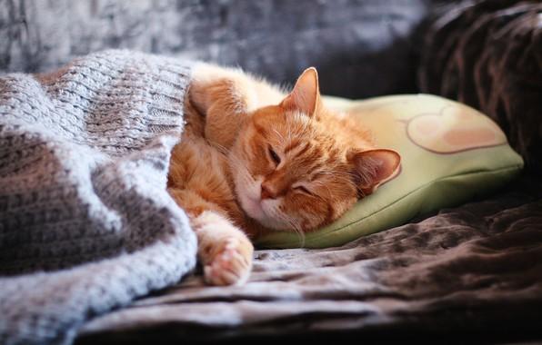 Картинка кошка, кот, морда, уют, диван, сон, лапы, покрывало, рыжий, спит, подушка, домашний, закрытые глаза