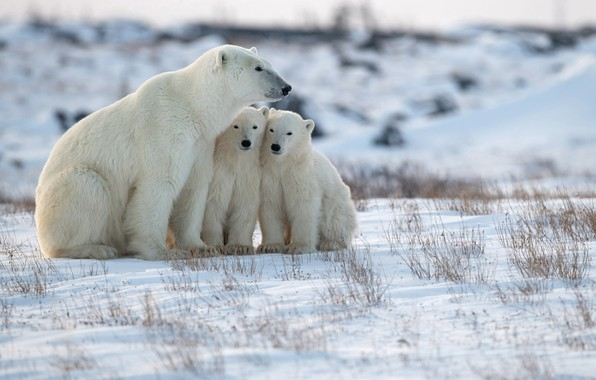Картинка снег, медвежата, Арктика, медведица, Белые медведи, Полярные медведи