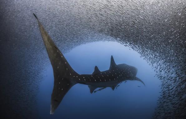 Картинка вода, рыбы, рыба, акула, под водой, Крупнейшая из существующих в настоящее время видов, Китовая акула