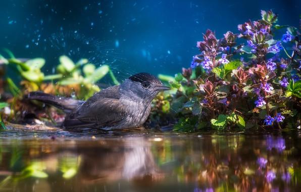 Картинка вода, цветы, брызги, природа, птица, растительность, купание, Tamas Hauk, черноголовая славка