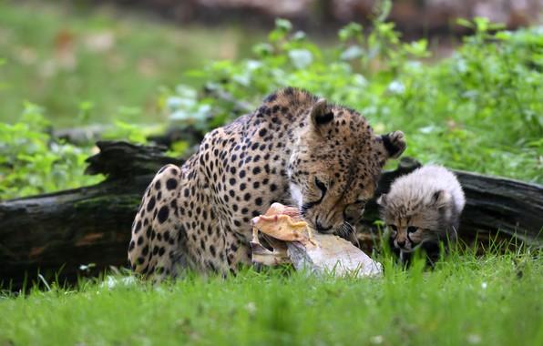 Картинка зелень, трава, взгляд, морда, листья, поза, котенок, фон, малыш, мордочка, гепард, мясо, лежит, бревно, дикие …
