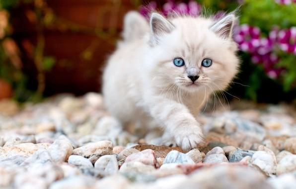 Картинка кошка, взгляд, цветы, галька, камни, котенок, фон, сад, малыш, мордочка, милый, прогулка, котёнок, пушистик, камушки, …
