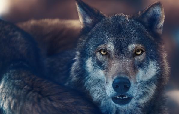 Картинка взгляд, морда, волк, хищник, зверь, санитар леса, Олег Богданов