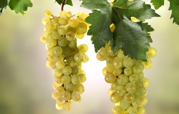Картинка листья, солнце, фон, ветка, виноград, гроздья, боке