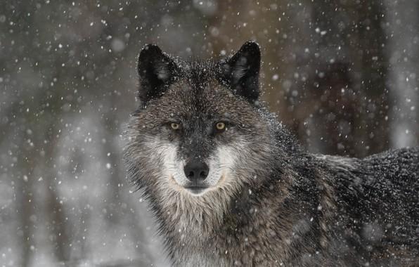 Картинка взгляд, морда, снег, волк, хищник, санитар леса