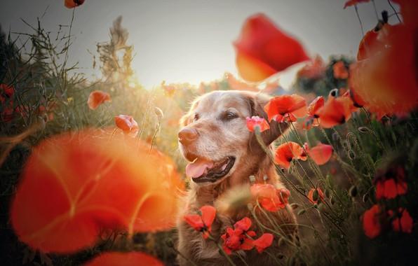Картинка лето, друг, маки, собака