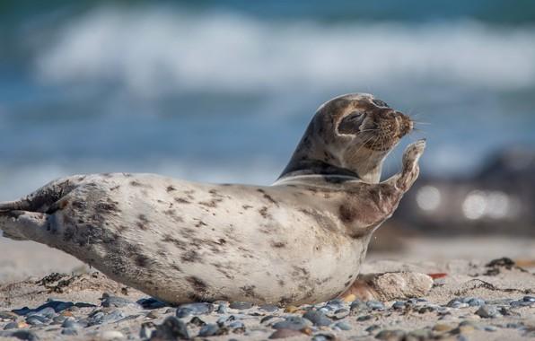 Картинка море, поза, галька, камни, фон, голубой, берег, тюлень, лапки, малыш, лежит, мордашка, морской котик, детеныш, …