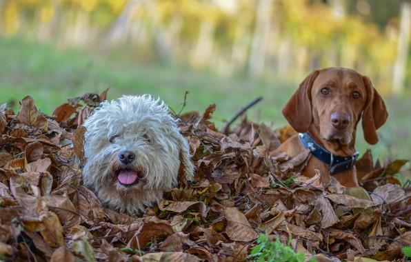 Картинка осень, листья, друзья, порода