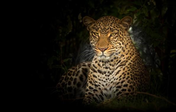 Картинка взгляд, морда, портрет, леопард, черный фон, дикая кошка