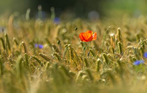 Картинка поле, лето, свет, цветы, красный, мак, рожь, колоски, колосья, злаки, синие, боке, васильки, ржаное поле