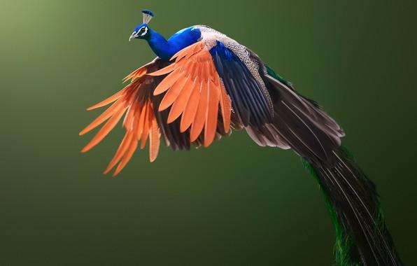 Картинка фон, птица, крылья, павлин