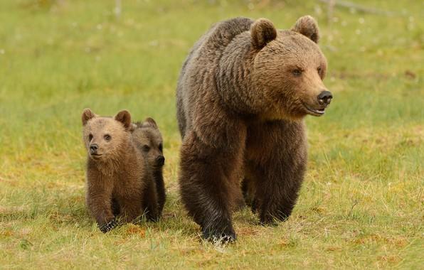 Картинка зелень, лето, трава, взгляд, морда, природа, поза, поляна, медведь, медведи, пара, три, медвежонок, прогулка, малыши, …