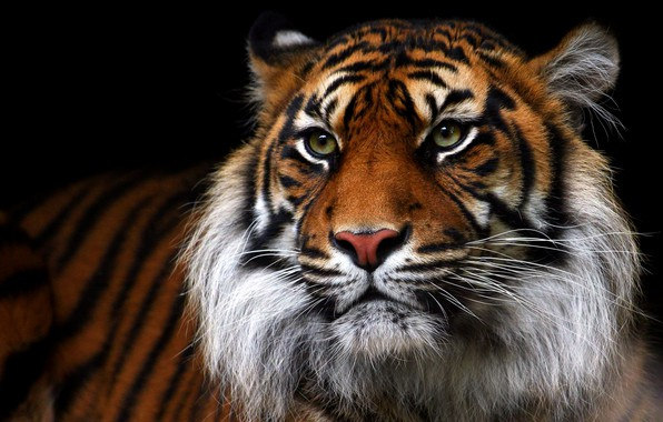 Картинка взгляд, морда, тигр, портрет, черный фон