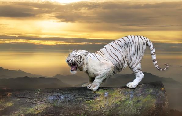 Картинка белый, небо, взгляд, облака, закат, горы, тигр, поза, коллаж, вид, фотошоп, обработка, лапы, пасть, оскал, …