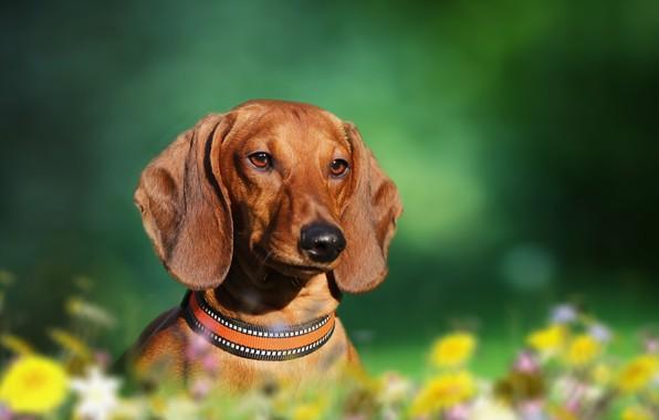 Картинка фон, друг, собака, такса