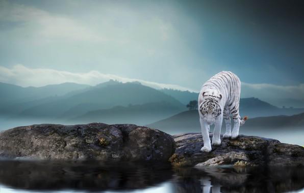 Картинка природа, тигр, камни, животное, хищник, водоём, Thai Phung