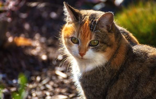 Фото обои кошка, взгляд, морда, фон, портрет, рыжая, боке, пятнистая, пестрая