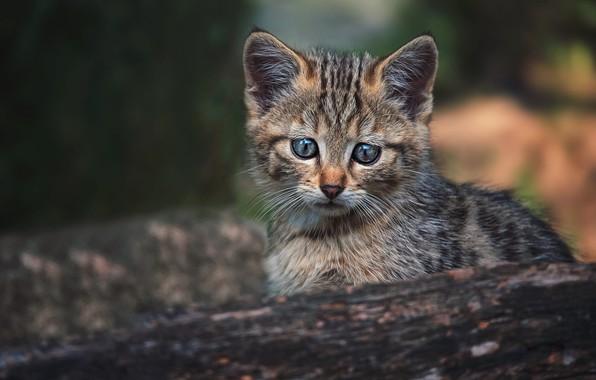 Картинка кошка, взгляд, морда, поза, котенок, фон, малыш, бревно, котёнок, дикий, лесной, лесной кот, европейский