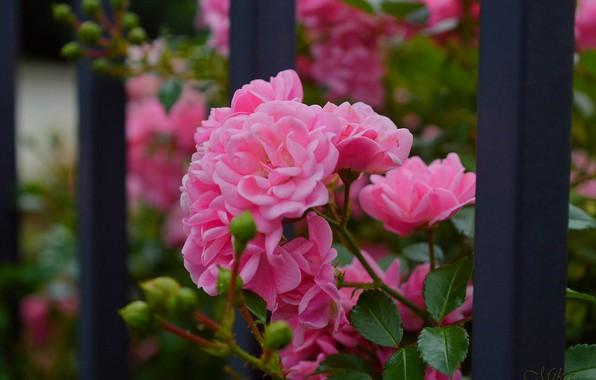 Картинка Розы, Rose, Pink roses, Розовые розы