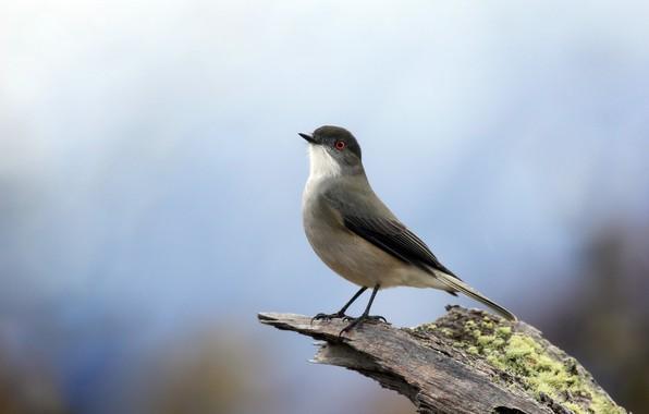 Картинка природа, птица, Красноглазая пиропа