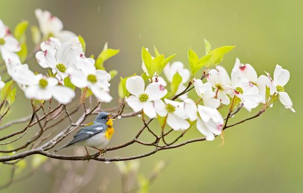 Картинка ветки, фон, птичка, цветение, цветки, кизил, Белоглазая парула