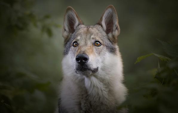 Картинка взгляд, морда, листья, ветки, природа, поза, зеленый, темный фон, серый, фон, волк, портрет, собака, большая, ...