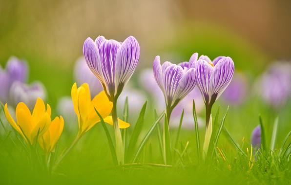 Картинка макро, весна, лепестки, боке, Крокусы, Шафран