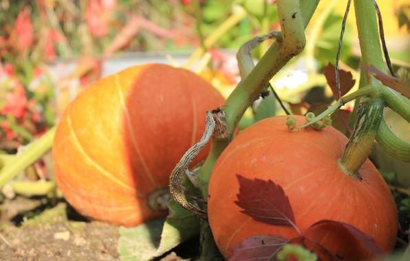 Картинка тень, урожай, тыква, хэллоуин, дача, грядка