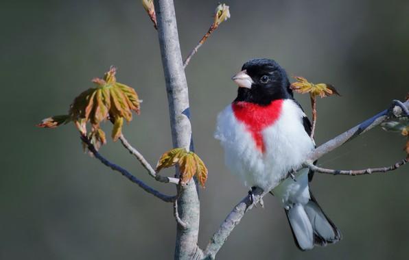 Картинка ветки, фон, дерево, птица, Красногрудый дубоносовый кардинал, Владимир Морозов