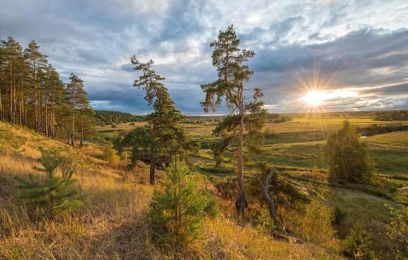 Картинка деревья, сосны, луга, Алексей Сумников