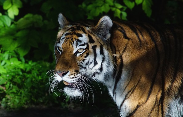 Картинка зелень, взгляд, морда, листья, свет, ночь, тигр, темнота, темный фон, листва, портрет, тени, дикая кошка, …