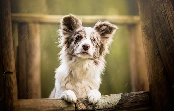 Картинка грусть, взгляд, морда, капли, фон, дождь, дерево, настроение, портрет, собака, лапы, щенок, белая, бревно, уши, …