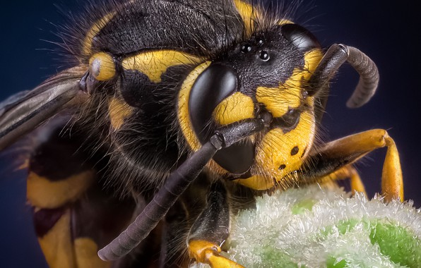 Картинка глаза, макро, пчела, голова, насекомое, усики