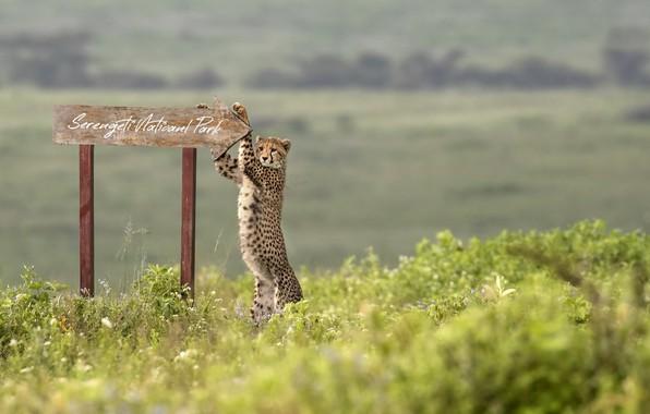 Картинка africa, Cheetah, Serengeti National Park