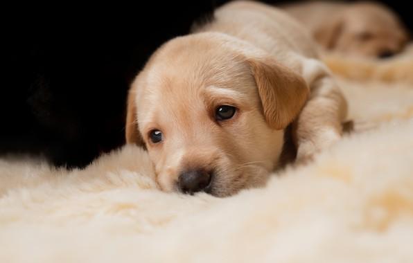 Картинка взгляд, собака, маленький, малыш, щенки, щенок, лежит, мех, мордашка, золотистый, ретривер