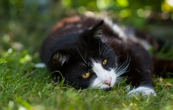 Картинка зелень, кошка, лето, трава, кот, морда, природа, поза, фон, отдых, черно-белый, черный, лежит, котэ, боке, …