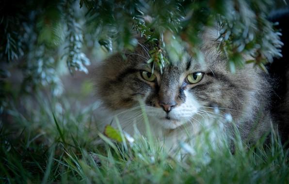 Картинка кошка, трава, кот, взгляд, ветки, мордочка, котейка